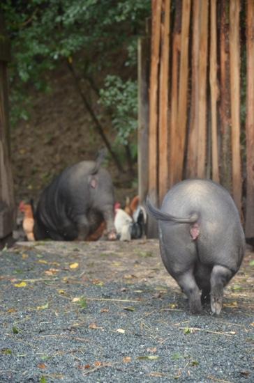 Schweinepopo